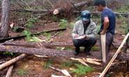Tận diệt rừng thông trên tuyến đường du lịch