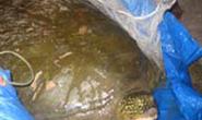 Cứu thành công một cá thể Rùa Hồ Gươm nặng 68 kg