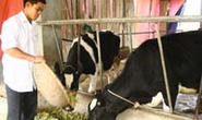 Giúp dân giữ đàn bò sữa
