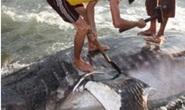 Cá 1,5 tấn chết là cá nhám voi quý hiếm