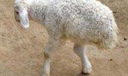 Xuất hiện cừu hai chân kỳ dị ở Trung Quốc