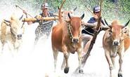 Cùng BenThanh Tourist đua bò Bảy Núi với người KHMER