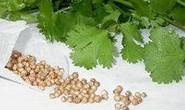 Giải độc bằng hạt ngò rí