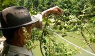Làm giàu với mô hình trồng cóc Thái