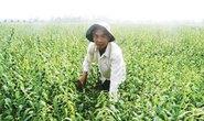Hiệu quả từ mô hình trồng mè đen