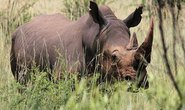 193 con tê giác bị giết ở Nam Phi
