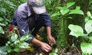 Xới tung rừng tìm thảo dược