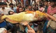Cá hanh vàng hàng hiếm giá 38.000 USD