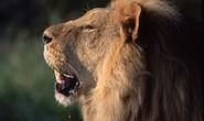 Hẹn hò trong rừng, cô gái bị sư tử vồ chết
