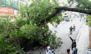 Đà Lạt mất cây mai anh đào thọ nửa thế kỷ