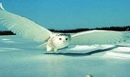 Máy bay mô phỏng cánh chim cú