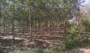 Bình Phước: Thu hồi đất vàng, vườn cao su