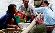Mùa nước nổi ăn cá linh