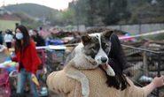 Hơn 900 con chó chưa kiểm dịch sắp vào lò mổ