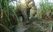 Cả đàn voi rừng tấn công nhà dân