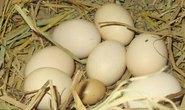 Gà đẻ trứng siêu nhỏ