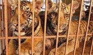 Đem 2 con hổ nuôi đi gởi vì sợ bị lộ