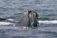 Cá voi sắp tuyệt chủng