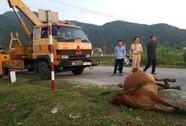 Tông chết bò đang gặm cỏ bên đường, tài xế phải đền 38 triệu đồng