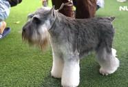 Hàng trăm chú chó nghìn đô cùng nhau tranh tài