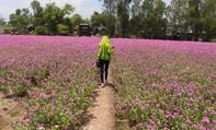 Cận cảnh cánh đồng hoa dừa cạn 'vạn người mê' ở miền Tây