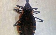 Phát hiện mới về bọ xít hút máu
