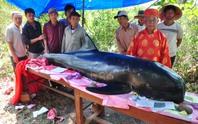 Quảng Ngãi: Phát hiện cá Ông trôi dạt vào bờ