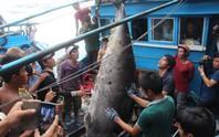 Câu được cá ngừ vây xanh quý hiếm nặng 307 kg