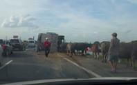 Xe chở bị tai nạn, đàn trâu đại náo cao tốc Pháp Vân-Cầu Giẽ