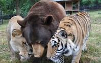 Ngỡ ngàng trước tình bạn của bộ ba sư tử, cọp, gấu