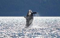 Cá voi sát thủ 105 tuổi bất ngờ tái xuất gây sửng sốt