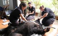 Cứu hộ 6 con gấu ngựa bị cụt chân, mưng mủ