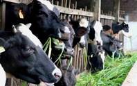 TP HCM: Đàn bò sữa giảm mạnh
