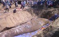 Ngàn người tham gia an táng cá voi khủng chết dạt vào bờ