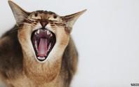 Cặp đôi cầu cứu cảnh sát vì bị... mèo bắt làm con tin