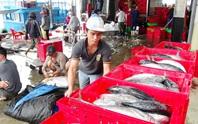 Cá ngừ sọc dưa tràn ngập cảng Hòn Rớ