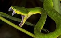 Bị rắn lục đuôi đỏ cắn vào lưỡi khi đang nhậu