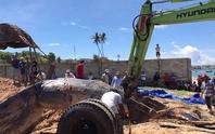 Cá voi 15 tấn trôi dạt vào vùng biển Mũi Né