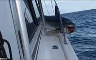 Mắc kẹt trên boong tàu, cá mập vùng vẫy thoát thân