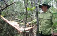 Vụ phá rừng pơ mu: Khởi tố nguyên Đồn phó Đồn Biên phòng
