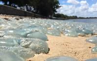 Hàng ngàn con sứa đổi màu bờ biển Úc