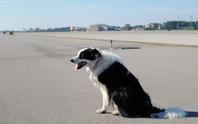 Máy bay phải bay lòng vòng chờ đuổi chó trên đường băng
