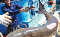 Chuyện câu cá mập của ngư dân Phú Quý