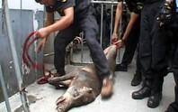 Heo rừng đại náo bệnh viện, hàng chục cảnh sát vây bắt