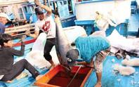 Hưng phấn với mùa cá ngừ đại dương