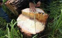 Rừng Lâm Đồng vẫn chảy máu!