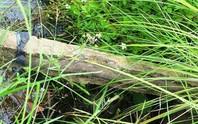 Con bò làm lộ bê tông cốt... gỗ trên công trình thủy lợi