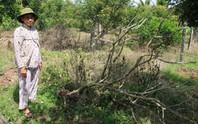 Vườn cây ăn trái liên tiếp bị kẻ xấu phá hoại tàn độc