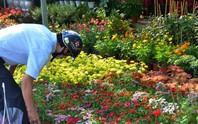 Nhà vườn Đà Lạt dè dặt tăng sản lượng hoa Tết
