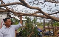 Chiêm ngưỡng cây mai cổ 90 năm tuổi, có dáng như cây thông